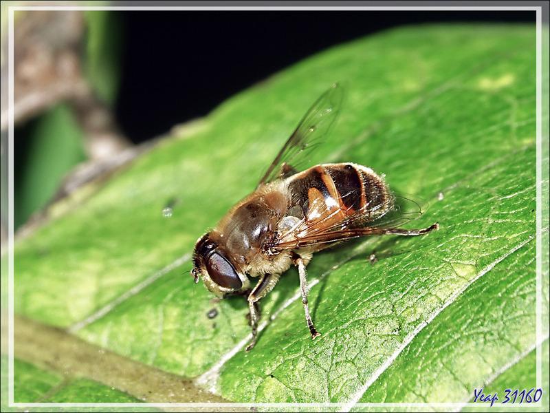 "Mouche syrphe ""Eristale gluante"" femelle, Drone fly, Rat-tailed maggot (Eristalis tenax) - Lartigau - Milhas - 31"