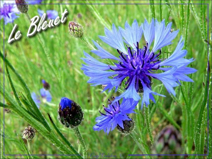 fleur bleuet