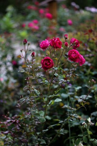 Les Roses de Warren : Plum Jam