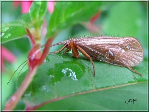 Trichoptères - Phryganes.
