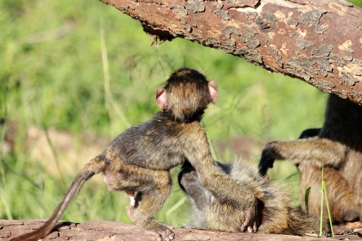 Les babouins du Sérengeti