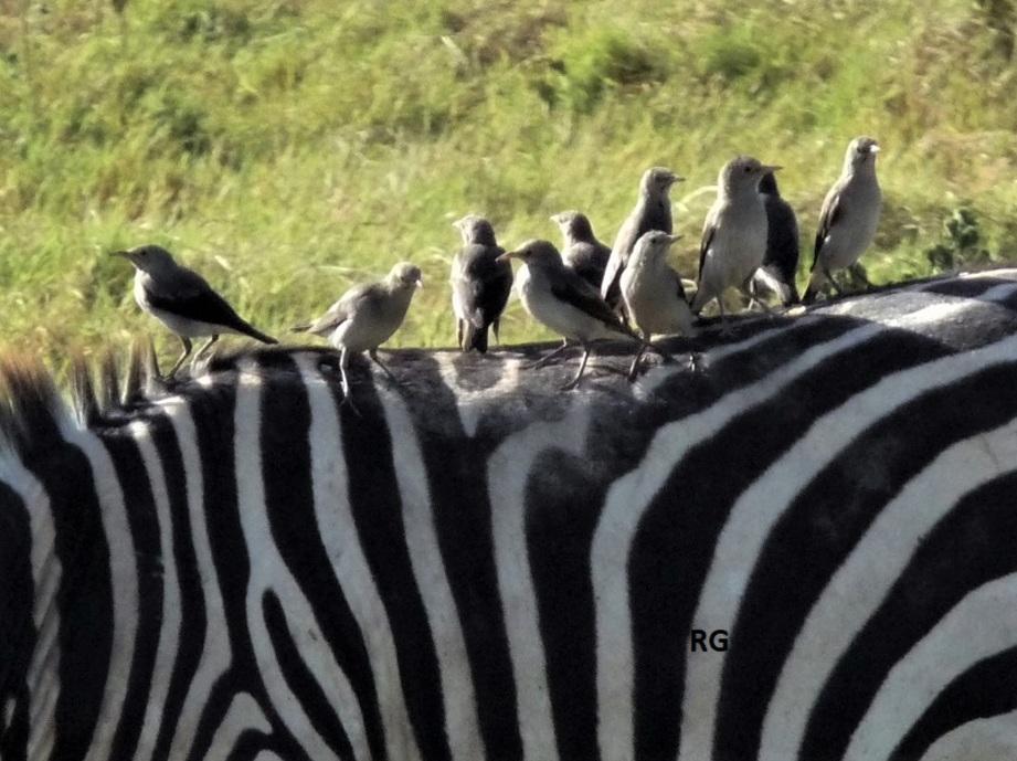 Après la girafe, le zèbre !