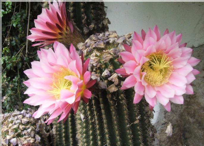 17.cactus. campanule.