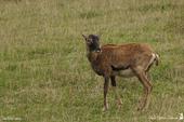 Femelle Mouflon