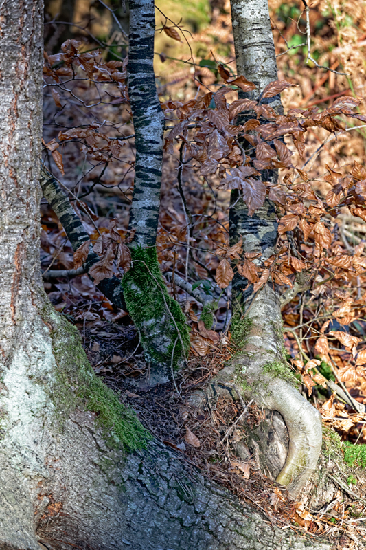 Balade hivernale en forêt de Bort - Haute-Vienne - Limousin