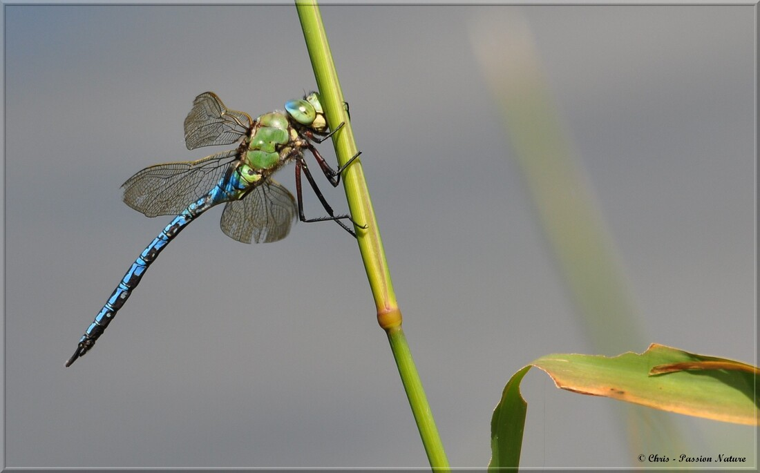Anax Empereur ♂  - Anax imperator