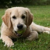 Bounty Chien Golden Retriever.jpg