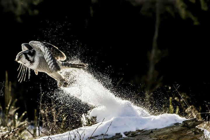 xx-animaux-dont-la-beaute-est-sublimee-par-les-couleurs-hivernales18