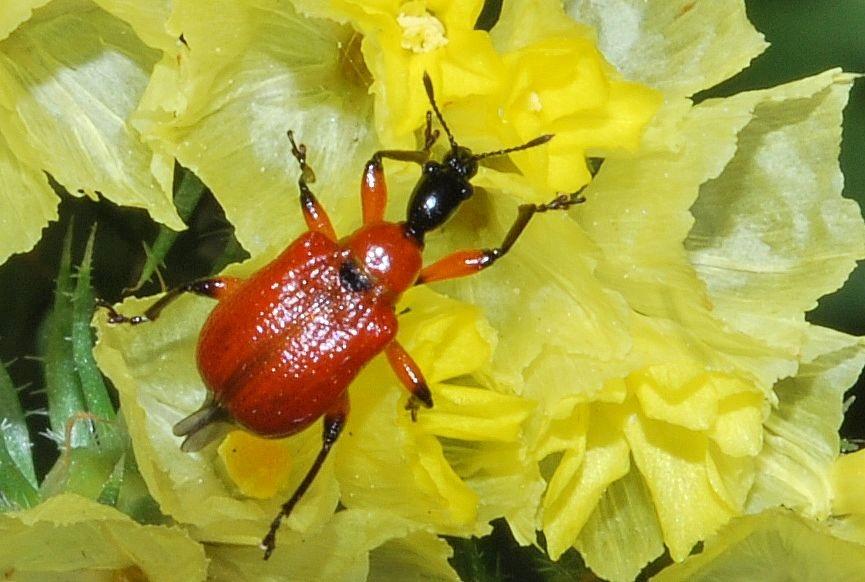 L'Apodère du noisetier (Apoderus coryli) Curculionoidea Attelabidae