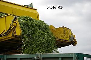 récolte des haricots10