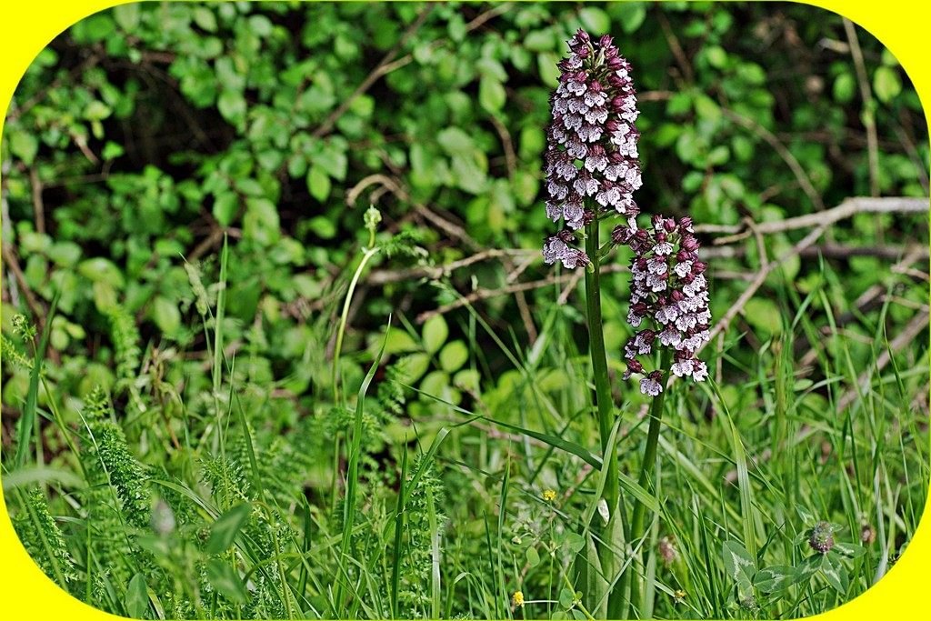 ORCHIS POURPRE ET PHOTOS D'HIER
