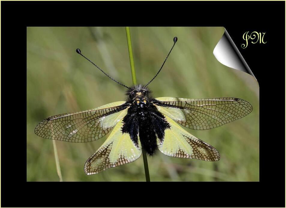 mi papillon, mi libellule
