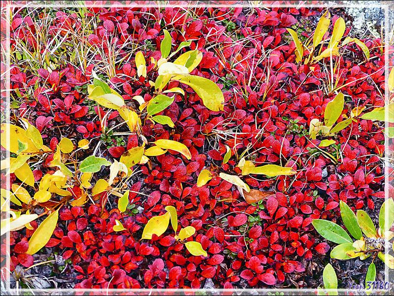 Saule réticulé, Net-vein willow (Salix reticulata) avec ses couleurs d'automne - Edinburgh Island - Nunavut - Canada