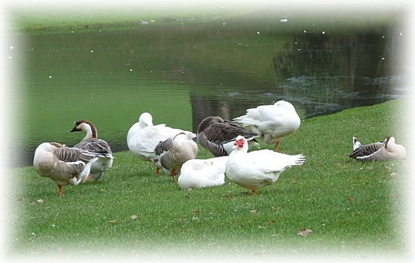 canards-en-groupe.jpg