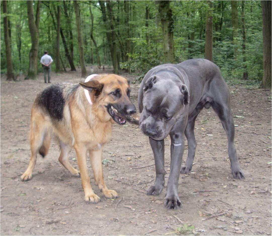 Le Cane Corso
