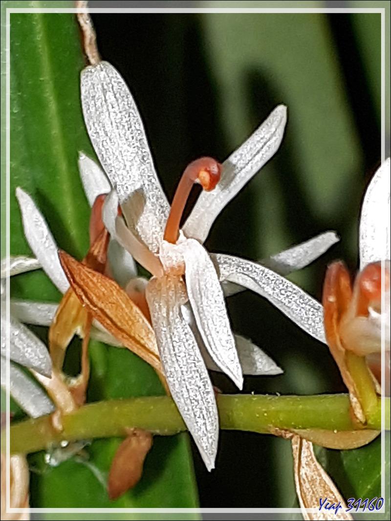 Mini orchidée inconnue : un petit bulbe ramené du Népal en 1996, il s'est multiplié, a fleuri cette année après avoir été éclairci et transplanté (photos au smartphone)