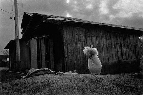 02- Les poules, en noir et blanc