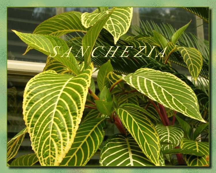 Plantes d'Intérieur : SANCHEZIA