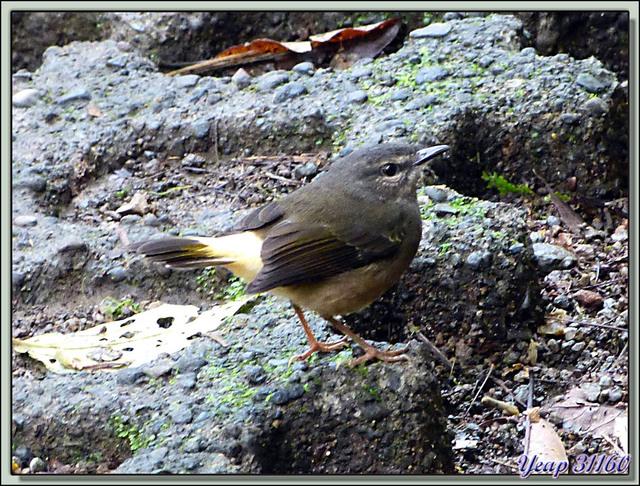 Blog de images-du-pays-des-ours : Images du Pays des Ours (et d'ailleurs ...), Bonne pioche pour ce petit oiseau inconnu - Arenal - Costa Rica