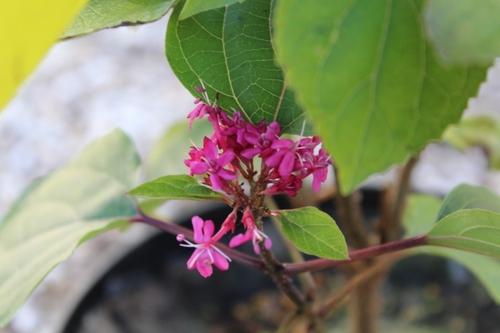 Clerodendron bungei ou Clérodendron fétide