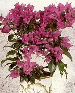 bougainvillea.glabra