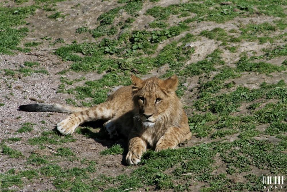 La lionne veille sur sa belle-famille