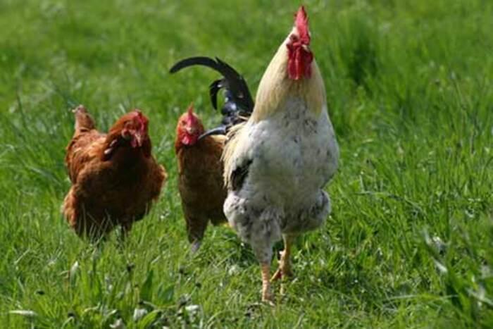 « Que le coq chante ou non, le jour se lève. » Proverbe Libanais.