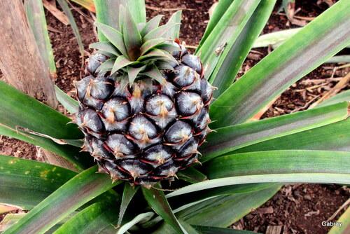 Archipel des Açores: culture des ananas  n5a