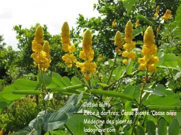 Cassia alata (dartrier)