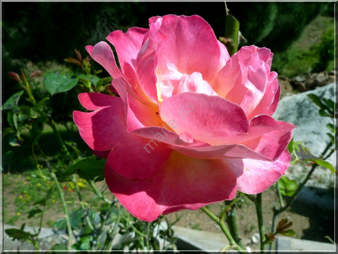 Des roses pour notre ami Jacques