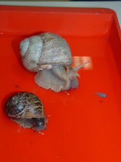 Séance 5 L'anatomie de l'escargot: la bouche et la coquille
