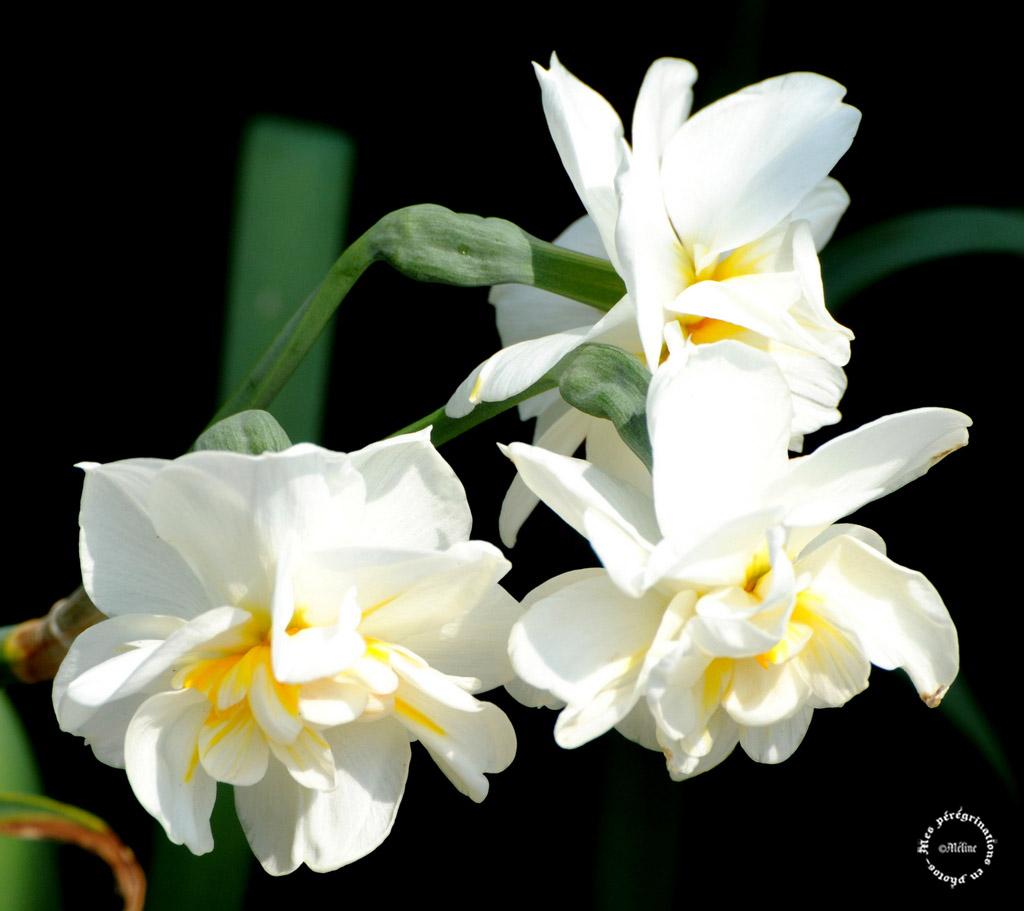 Les fleurs de mon jardin (3)