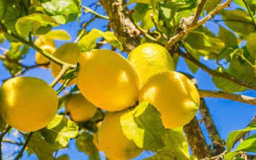 Les bienfaits du citron.