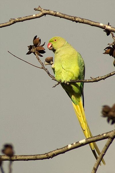 400px-Psittacula_krameri_-eating_in_tree-8.jpg