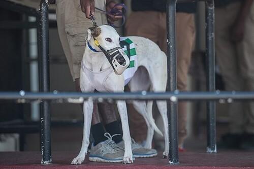 Les greyhounds, les grands oubliés de trop d' amoureux des lévriers en France