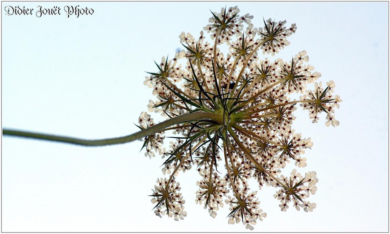 Carotte Sauvage / Daucus carota