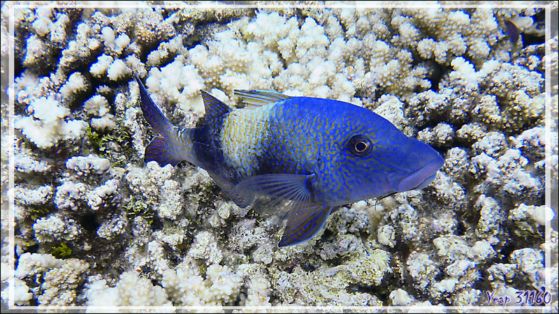 Superbe Poisson-chèvre à deux selles, Twosaddle goatfish (Parupeneus insularis) - Tumakohua (passe sud) - Atoll de Fakarava - Tuamotu - Polynésie française