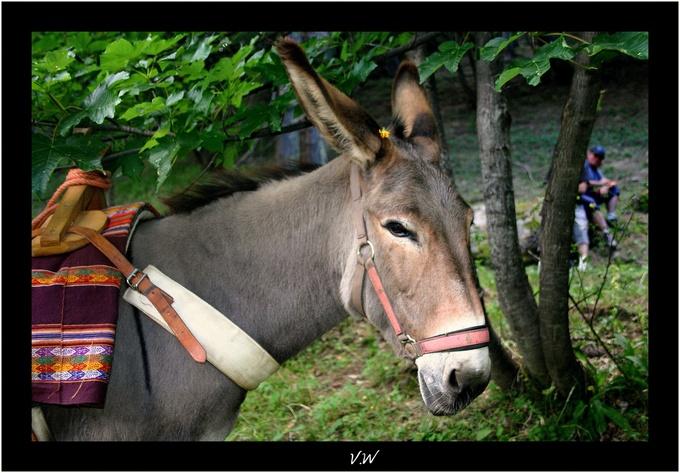 L'âne provençal