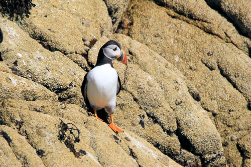 Macareux moine (Atlantic Puffin)