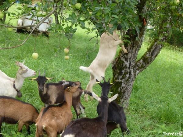 Les chèvres (6)