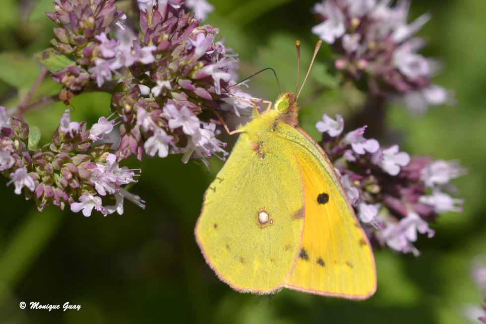 Papillon Souci, Colias croceus