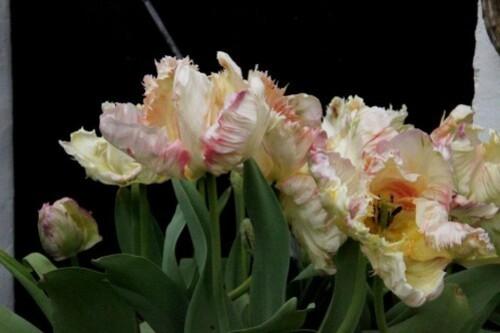 Tulipes Apricot Parrot1