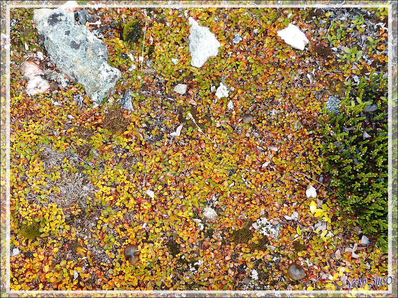 Forêt lilliputienne aux couleurs d'automne - Kullorsuaq - Qaasuitsup - Groenland