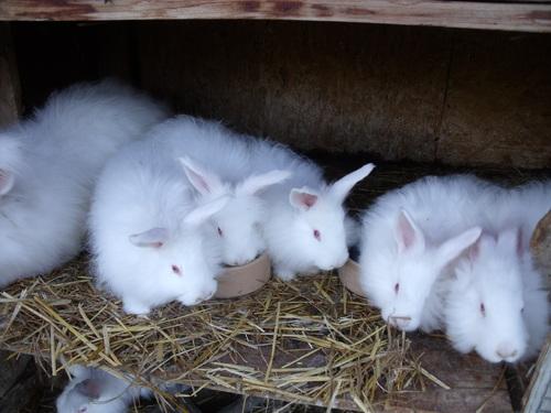 3 jeunes lapines à vendre