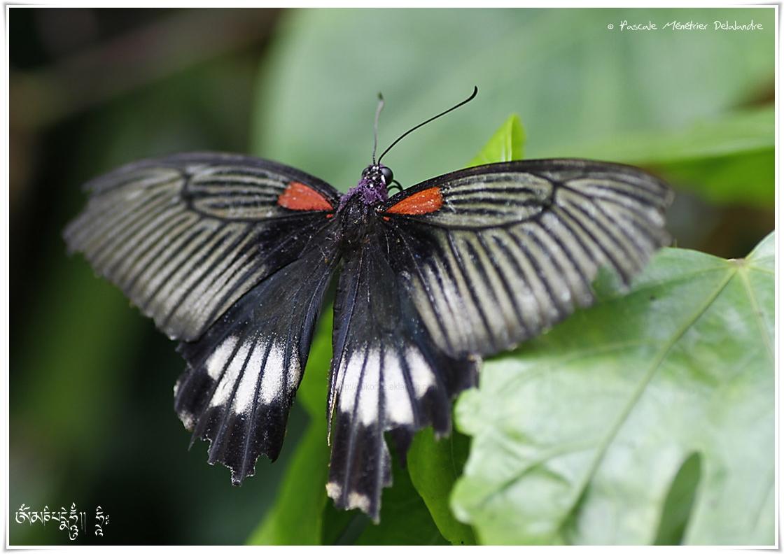 Papilio memnon ou le Grand Mormon - Papilionidae