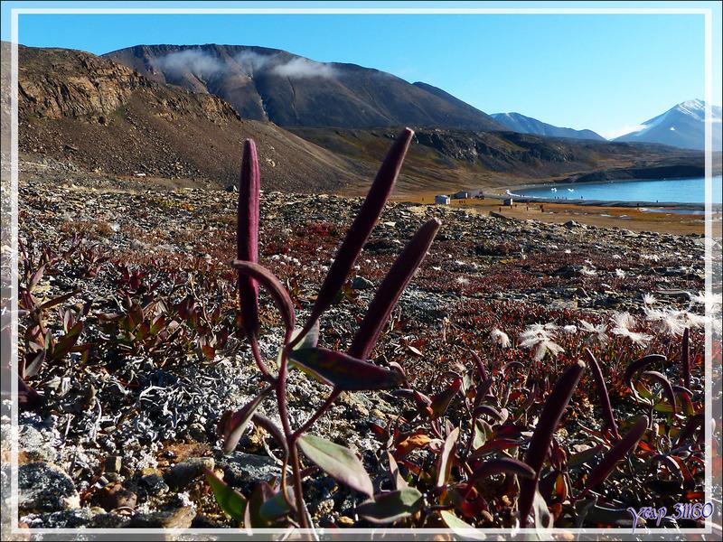 Flore à Dundas Harbour - Devon Island - Baffin Bay - Nunavut - Canada