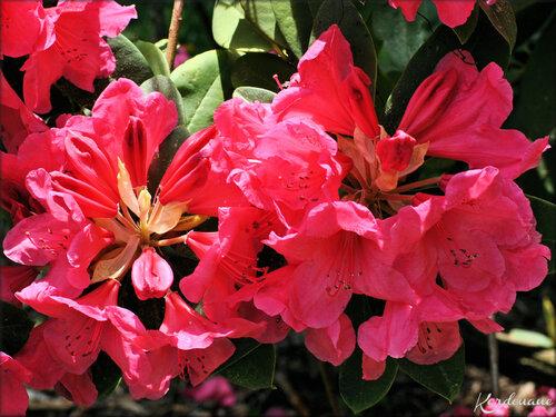 Fleur de Rhododendron (arbuste-flore)