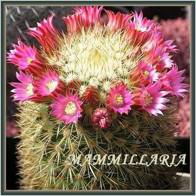 Les Plantes d'Intérieur : MAMMILLARIA (Cactacées)