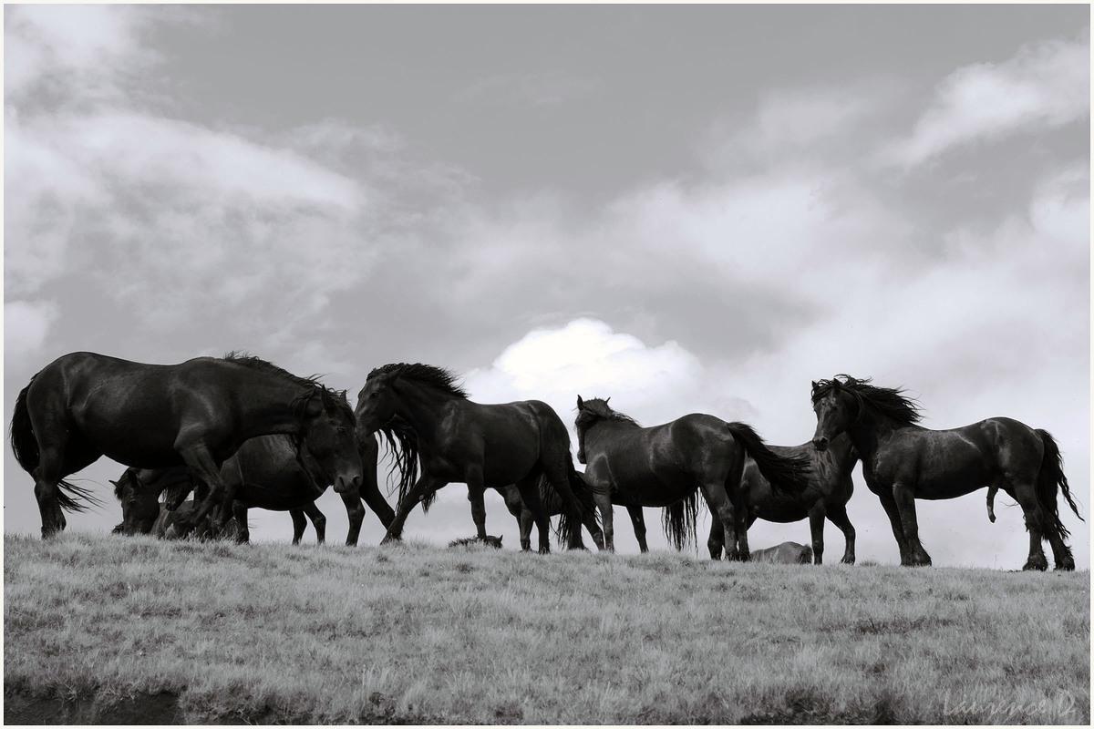 Les chevaux de Mérens sur le plateau de Beille Ariège