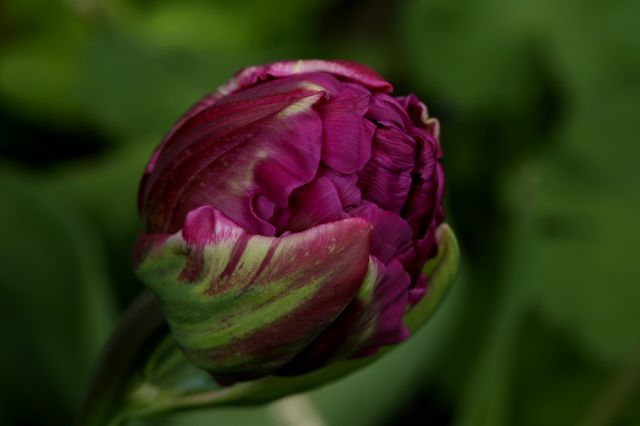 Tulipes 2016 : Purple Peony